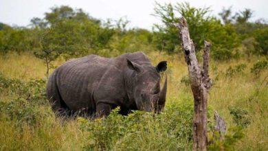 Afrique du Sud : Deux braconniers de rhinocéros tués dans le parc Kruger